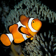 False Clown Anemonefish, Amphiprion ocellaris, in the Similans, Thailand.