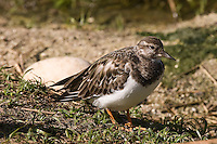Ruddy Turnstone photo Hawaii
