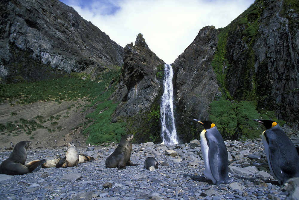 South Georgia Island, Antarctic Fur Seal (Arctocephalus gazella) and King Penguins (Aptenodytes patagonicus) by Hercules Bay