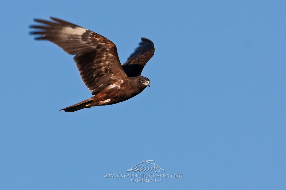Australasian Harrier in flight, New Zealand
