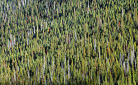 A evergreen conifer forest in the North Cascades range of Washington, USA.