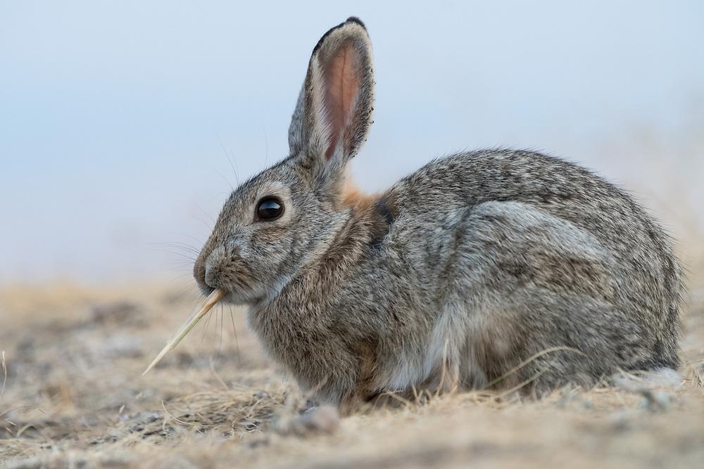 Mountain Cottontail Rabbit (Sylvilagus nuttallii), Montana, US
