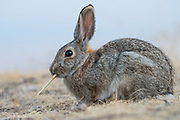 Mountain Cottontail Rabbit (Sylvilagus nuttallii), Montana, US