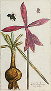 Copperplate print of Jacobean lily (Sprekelia formosissima) printed in 1608