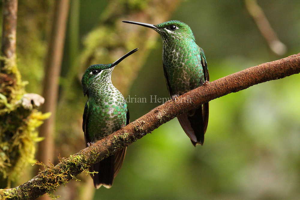 Two Female Green-crowned Brilliant Hummingbirds (Heliodoxa jacula). Monteverde Cloud Forest Preserve, Costa Rica. <br />
