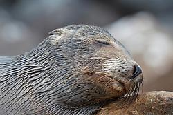 Deatiled view of a juvenile Galapagos Sea Lion (Zalphus wollebacki), sleeping on a rock along the shore, Galapagos Islands National Park, North Seymour Island, Galapagos, Ecuador