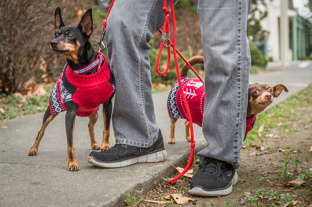 """These are their new Christmas sweaters...they don't much like the cold.""  -Don Marney walks his rescue ""minpins"", Jady and Roc, on Christmas day."