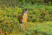 Mule deer (Odocoileus hemionus), Mount Rainier National Park, Washington