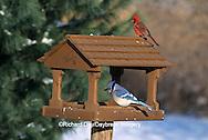 00585-00509 Blue Jay (Cyanocitta cristata) & Northern Cardinal (Cardinalis cardinalis) male at feeder in winter Marion Co.  IL