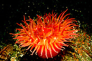 UNDERWATER MARINE LIFE EAST PACIFIC: Northeast ANEMONES: Sea anemone Tealia species