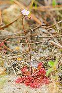 Annual Sundew (Drosera annua)<br /> TEXAS: Jasper Co.<br /> Boykin Springs Recreational Area; Angelina National Forest, Pitcher Plant Bog<br /> 6-April-2016<br /> J.C. Abbott &amp;  K.K. Abbott #2790