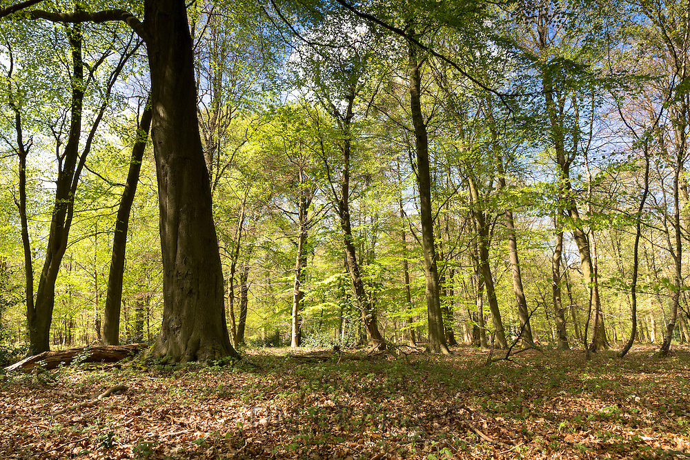 Beech trees, Fagus sylvatica, the European beech or common beech  in woodland scene at Bruern Wood in The Cotswolds, UK