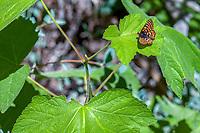 Euphydryas editha augustina (Edith's Checkerspot) ♀ at Siberia Creek, San Bernardino Co, CA, USA, on 17-Jul-16