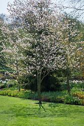 Amelanchier × grandiflora 'Rubescens' - Serviceberry