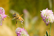 A honeybee (Apis mellifera) flying between flowers in the Nature Conservancy's Zumwalt Praire Preserve.