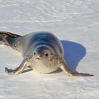 A Weddell Seal in McMurdo Sound, Antarctica.