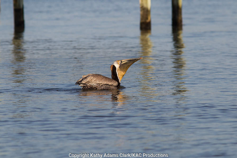 Brown pelican, Pelecanus occidentalis, feeding, spring, Galveston, Texas.