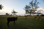 Phu Quoc Island. Cows at Ong Lang Beach.