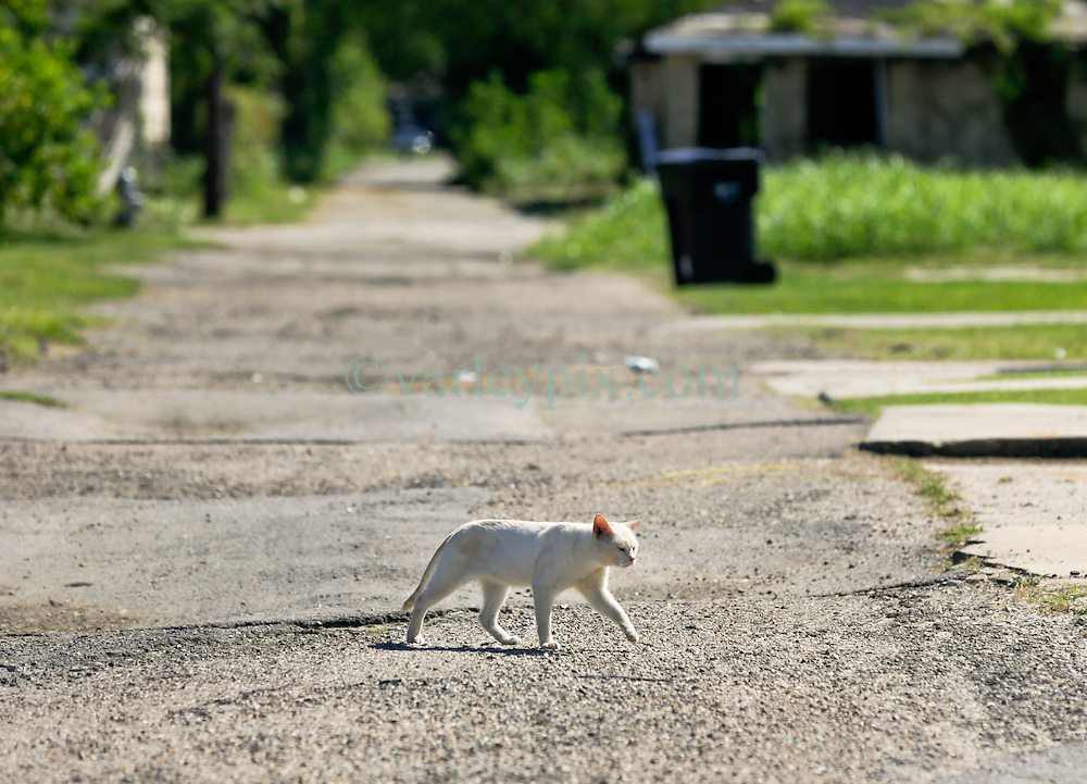 26 August 2015. New Orleans, Louisiana. <br /> Hurricane Katrina revisited. <br /> A feral cat crosses a rough road in the Lower 9th ward, one of the areas hardest hit by Katrina.<br /> Photo credit©; Charlie Varley/varleypix.com.
