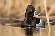 Ring-necked Duck, Aythya collaris, male, Saginaw Bay, Michigan