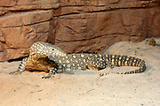 Darling Harbour. Sydney Wildlife World. A Perentie, Australia's largest monitor lizard.