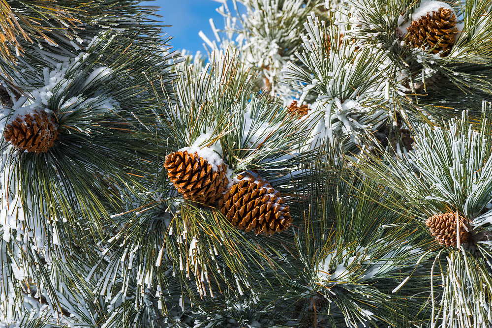 Snow on pine cones, San Bernardino National Forest, California USA