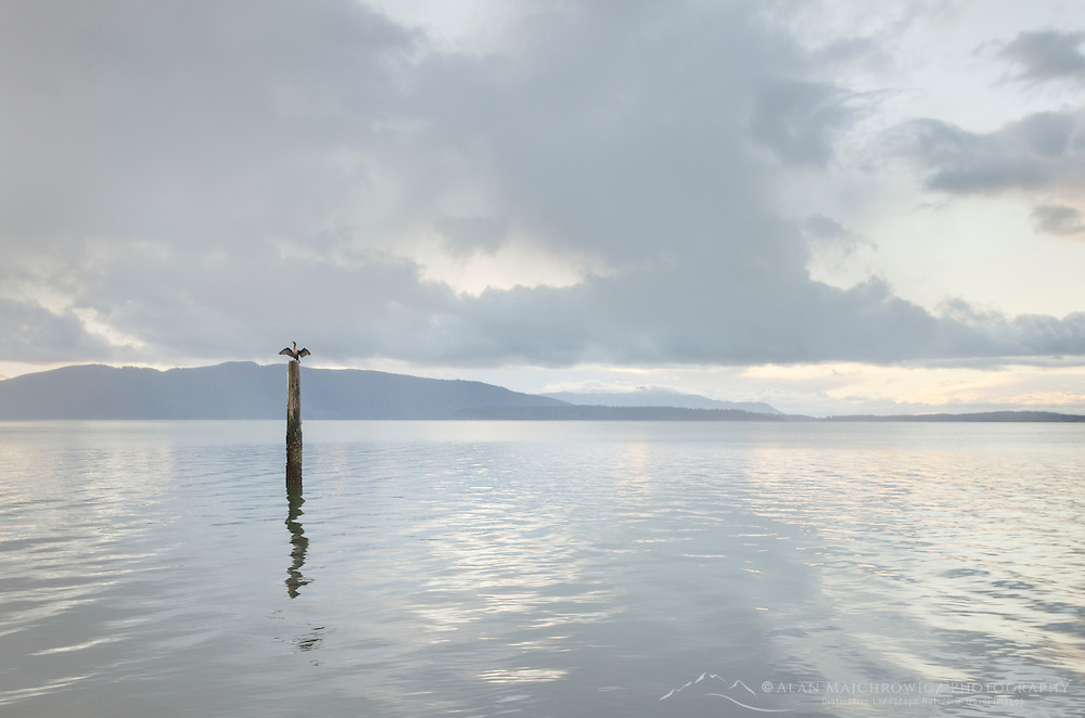 Cormorant perched on piling in Bellingham Bay Washington. Lummi Island in the distance