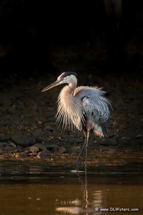 Great blue Heron in morning light against a shadowed backdrop.