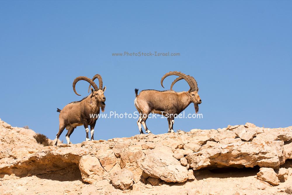 two large Male Nubian Ibex (Capra ibex nubiana), Negev Desert, Israel