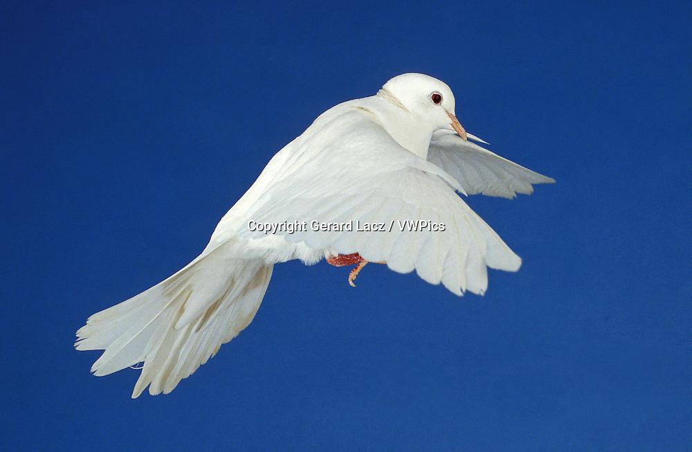 White Dove, columba livia, Adult in Flight against Blue Sky