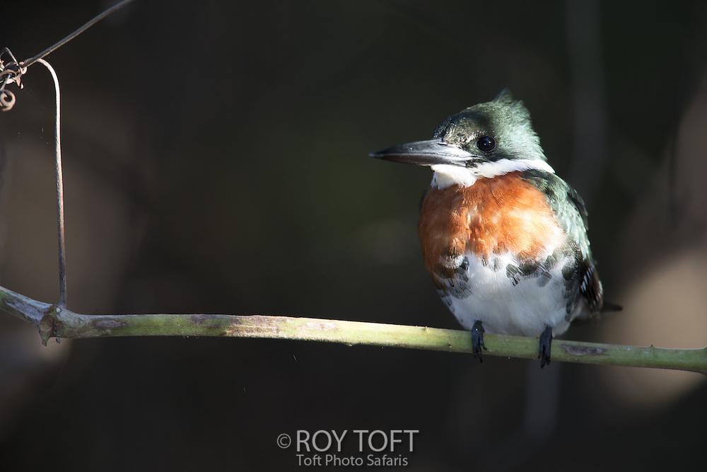 Green Kingfisher (Chloroceryle americana), Pantanal, Brazil