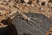 Desert Agama (Trapelus pallidus)
