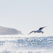 Seagull in flight on the east coast of Australia