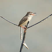 The plain prinia, or the plain, or white-browed wren-warbler (Prinia inornata) is a small warbler in the Cisticolidae family. It