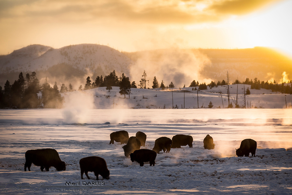 A geothermic smoking plain full of breath smoking bisons. Yellowstone National Park. USA.