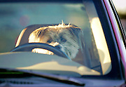 With high gas prices and unending road construction projects, one might say driving anywhere these days is going to the dogs. This 11-year-old pooch named Abbie however, was just waiting in the car for her owner to return from a quick stop at a drug store in Layton, Utah, June 21, 2006. (AP Photo/The Standard-Examiner, Colin Braley)**NO SALES, MANDATORY CREDIT**                              ..                               ..