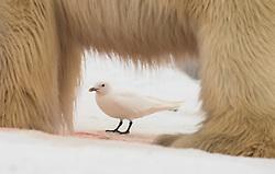 Ivory Gull (Pagophila eburnea) behind Polar bear in Svalbard, Norway