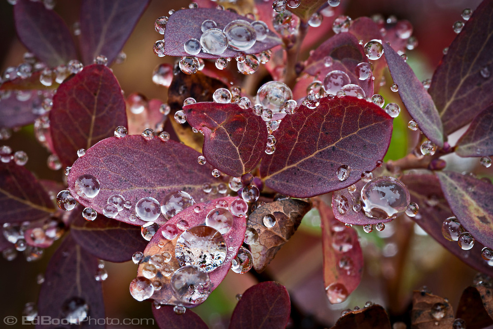 Huckleberry (Vaccinium membranaceum)leaves macro in autumn, Cascade Mountain Range, Washington, USA