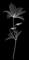 X-ray image of a 'Jackmanii' clematis (Clematis 'Jackmanii', white on black) by Jim Wehtje, specialist in x-ray art and design images.