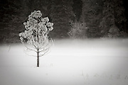 A frozen tree in Yosemite National Park.
