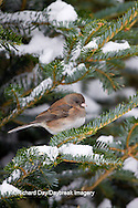 01569-01516 Dark-eyed Junco (Junco hyemalis) in spruce tree in winter, Marion Co., IL