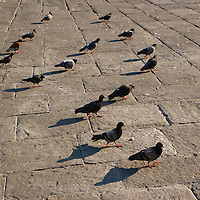 Pigeons in the street, Florence, Italy