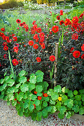 Dahlia 'Bishop of Lancaster' supported by rustic poles and string. Nasturtium 'Alaska' edging the path