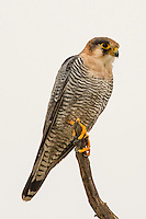 Red Necked Falcon, Kgalagadi Transfrontier Park, Northern Cape, South Africa