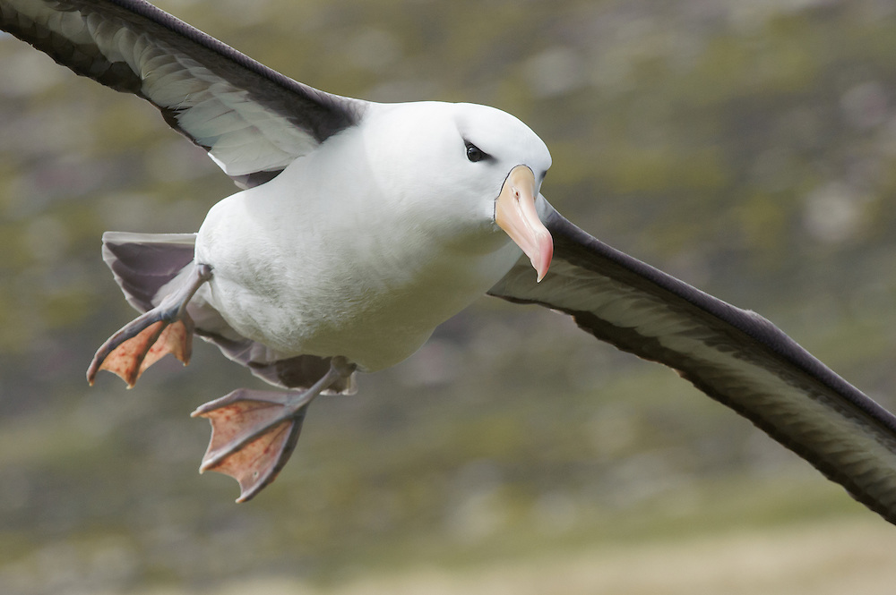 Black-browed Albatross (Thalassarche melanophrys).Falkland Islands..IUCN Status - Endangered