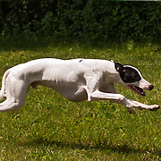 Photography is from the CWA race meet, sponsored by the Badgerland Whippet Association, which was held Arthurs Acres, in Milwaukee, WI. The event took place June 28, 2014.  Photography by Mel Carranza.
