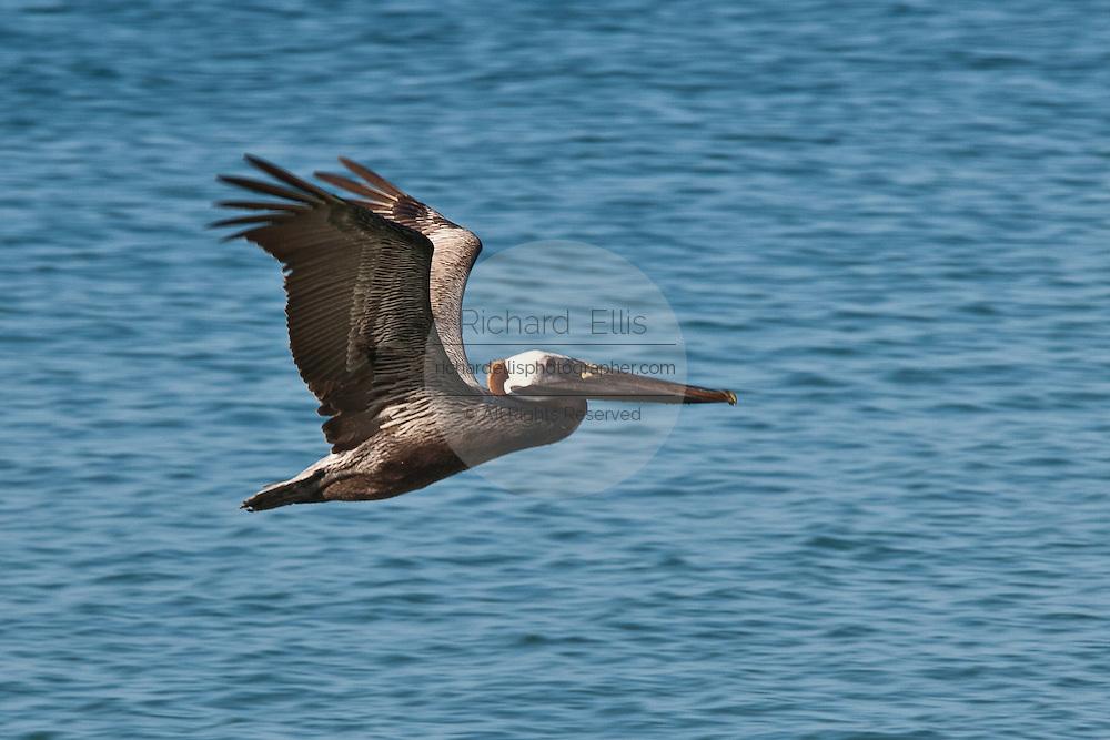 Brown Pelican in Rincon, Puerto Rico.