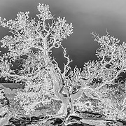 Captured atop the North Rim of the Grand Canyon.  I found this lone tree growing from the bedrock and had to capture its magnificence in near infrared.
