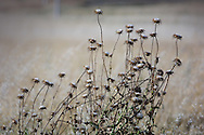Cotton thistle plants in the Spanish village of Morales del Vino, Zamora province, on July 22, 2001. Photo Rafa RIVAS