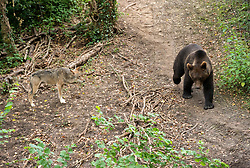 © Licensed to London News Pictures; 17/06/2020; Bristol, UK. **Embargoed until 00.01am Thursday June 18, 2020**. Wild Place Project. European brown bears and grey wolves have begun living side by side together for the first time in a UK Zoo as it prepares to re-open tomorrow (Friday June 19) after coronavirus lockdown. The four bears and the five wolves were given access to the same woodland exhibit at Wild Place Project recently. After some initial curiosity and playful chasing, the two species were soon quietly sharing the same space beneath the trees of Bear Wood as they would have done in this country thousands of years ago. Wild Place Project is preparing to reopen after an 13-week closure due to the COVID-19 pandemic. Photo credit: Simon Chapman/LNP.